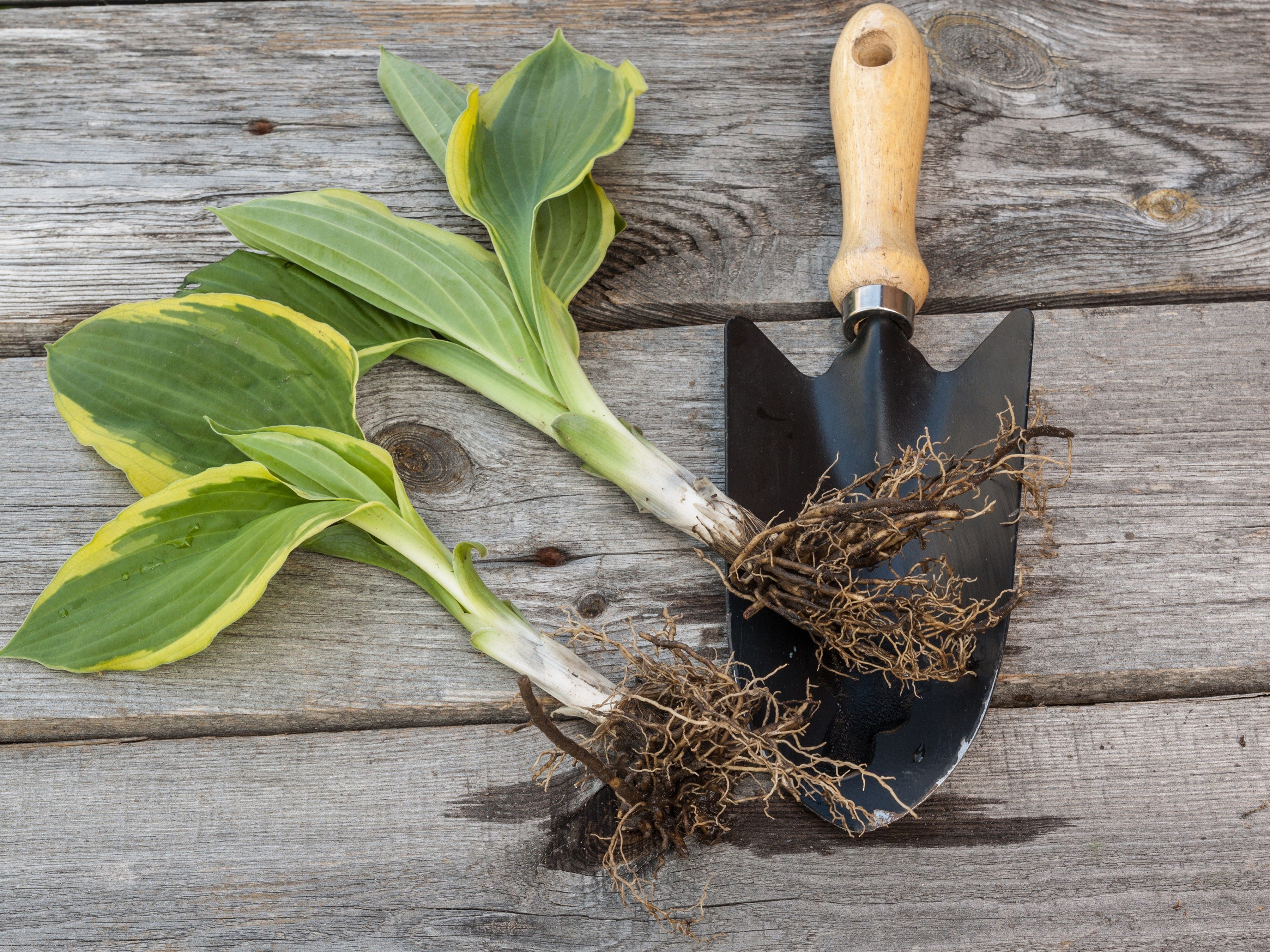 10. Get an Early Start on Hostas