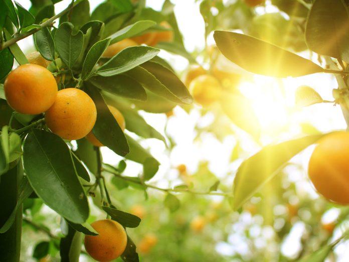 Oranges growing on tree