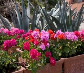 Adding Geraniums to a Landscape