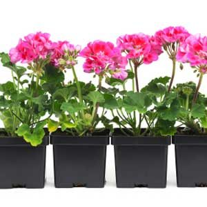 4. Feed New Geraniums