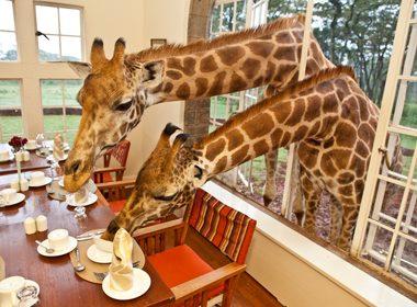 A Giraffe's Breakfast