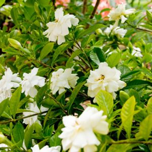 3. Add Cola and Tea to Gardenias