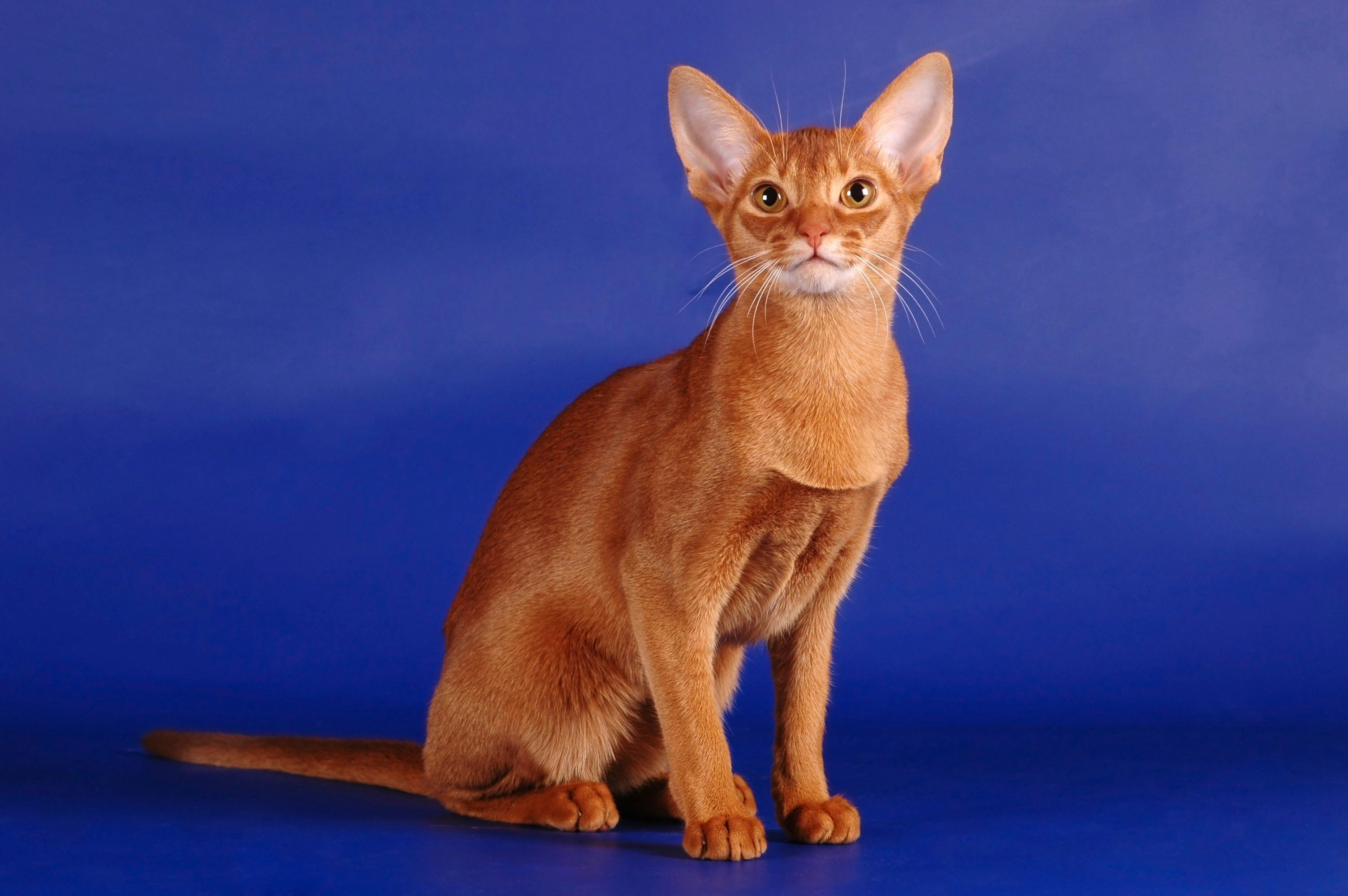 SHORTHAIRS  - Abyssinian
