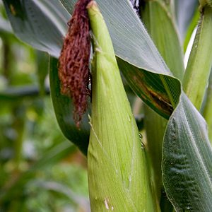 Safeguard Corn With Mineral Oil