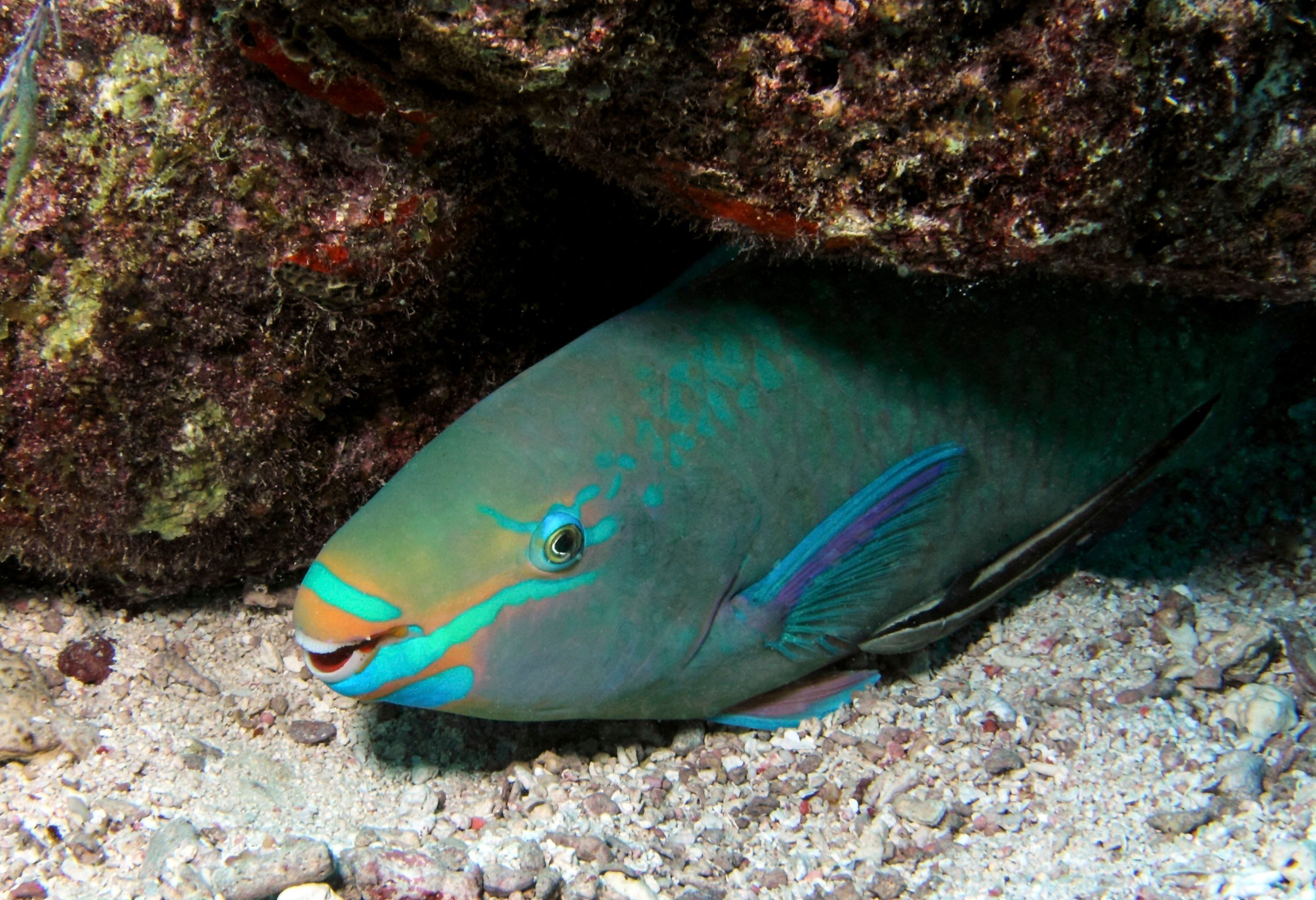 1. Parrotfish Sleep in a Bag of Their Own Mucus
