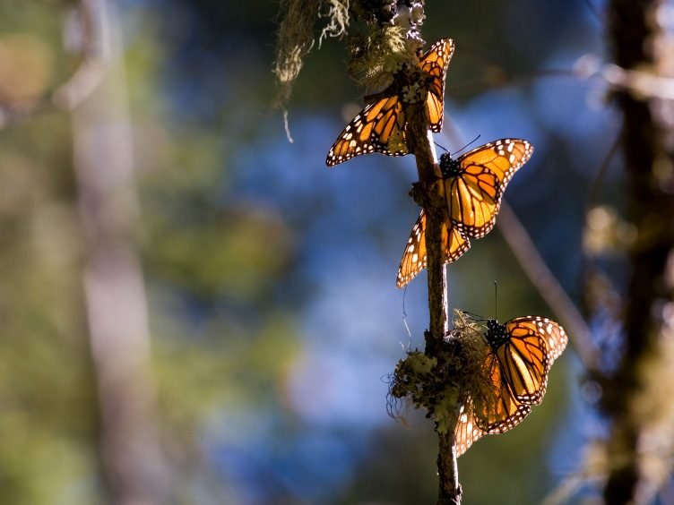 Natural Wonder: Monarch Butterfly Migration - Michoacan, Mexico