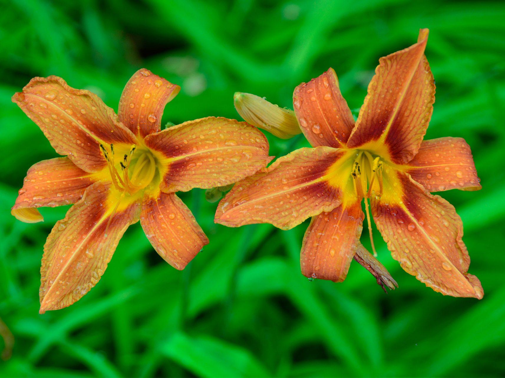 Rainy Daylilies