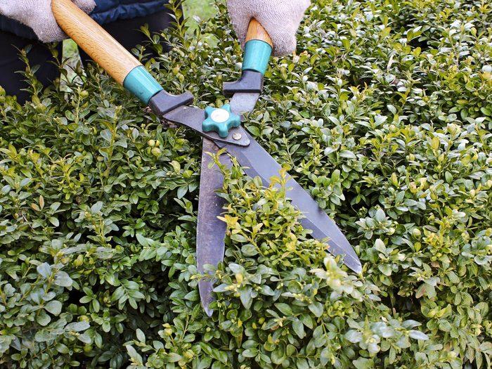 8. Prune Evergreens Later in the Season