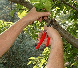 Prune Tree Limbs Safely