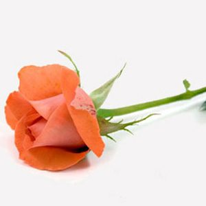 8. How Fresh is your Rose?