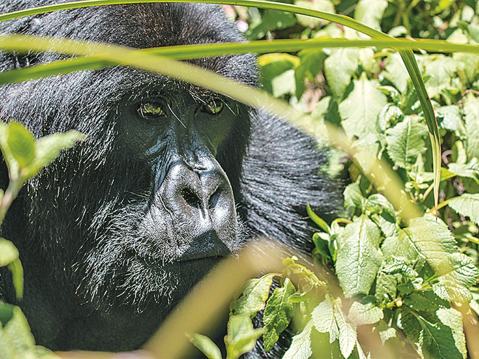 Among the Apes: Gorilla Trekking in Rwanda