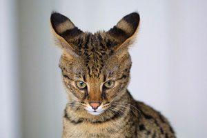 3. African Serval + Domestic Cat (Female) = Savannah Cat