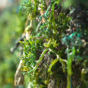 Seaweed Soil Conditioner