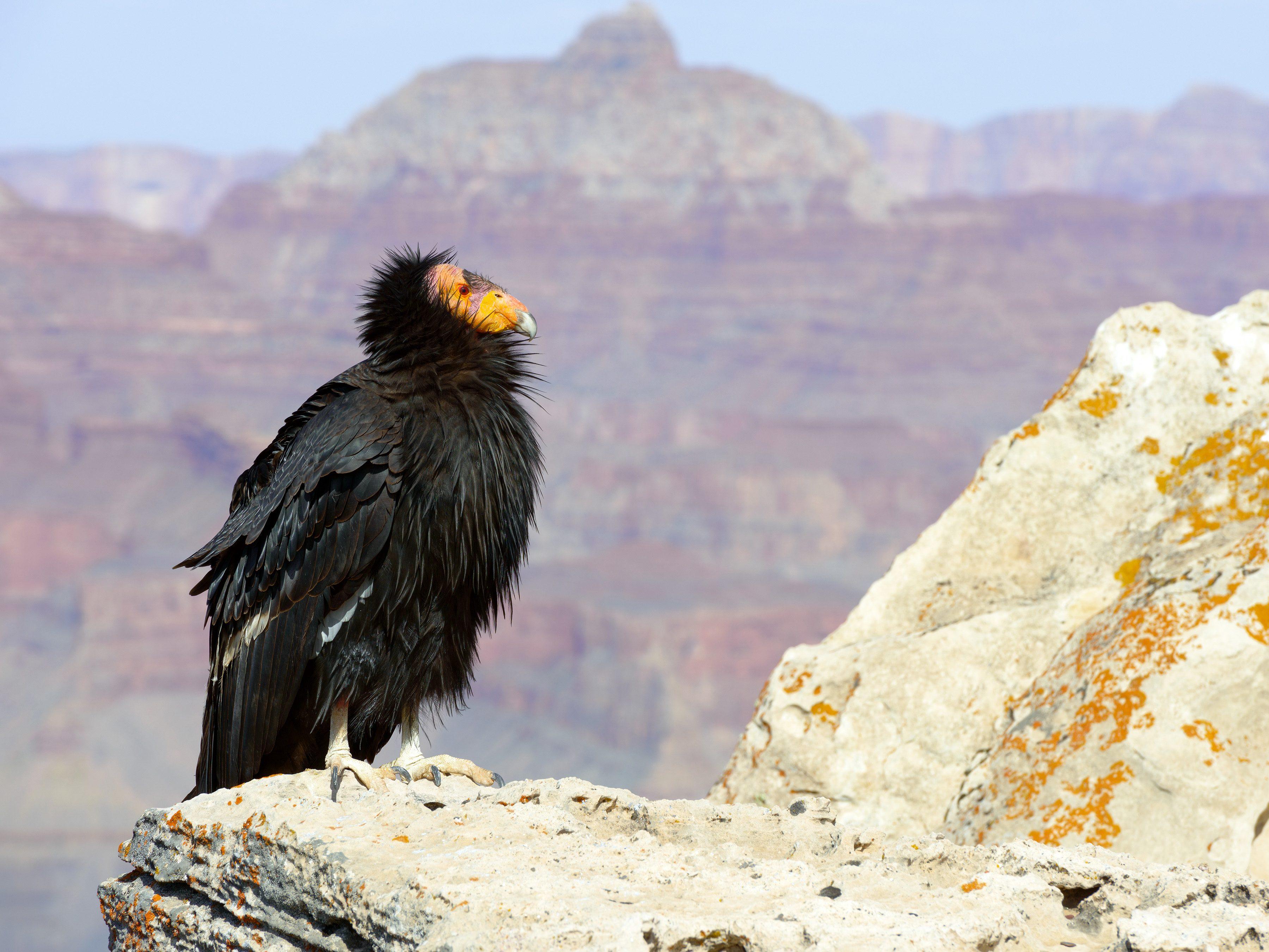World's Strangest Birds: California Condor