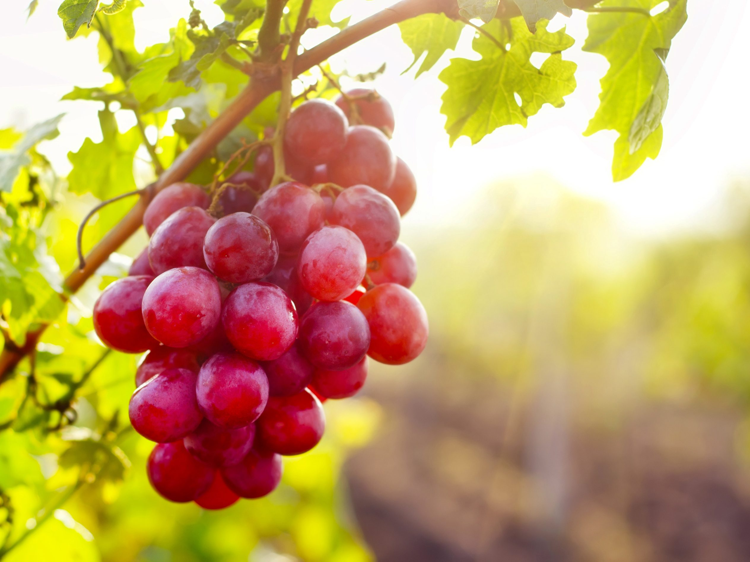 2. Grape seed extract