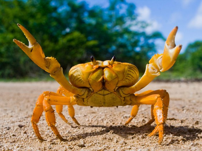 Use Gum to Lure a Crab