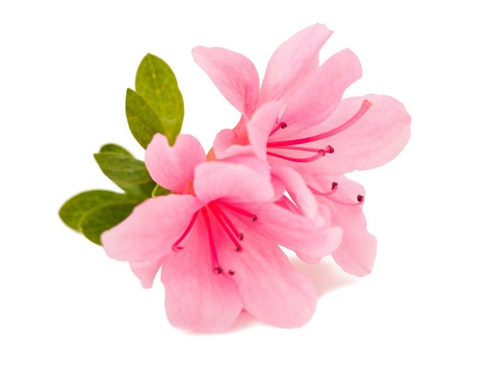 Flower Meanings: Azaleas
