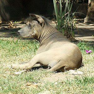 6. Xoloitzcuintl (Mexican Hairless Dog)