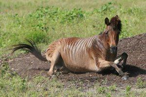 2. Zebra (Stallion) + Horse (Mare) = Zorse
