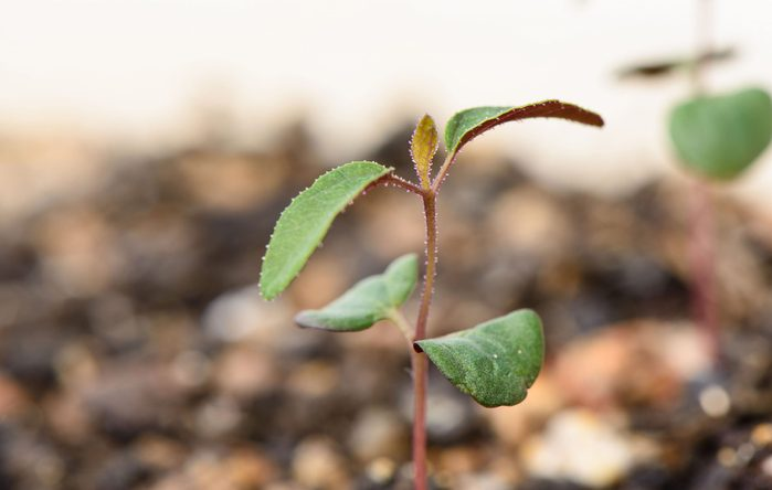 Lemon eucalyptus plant