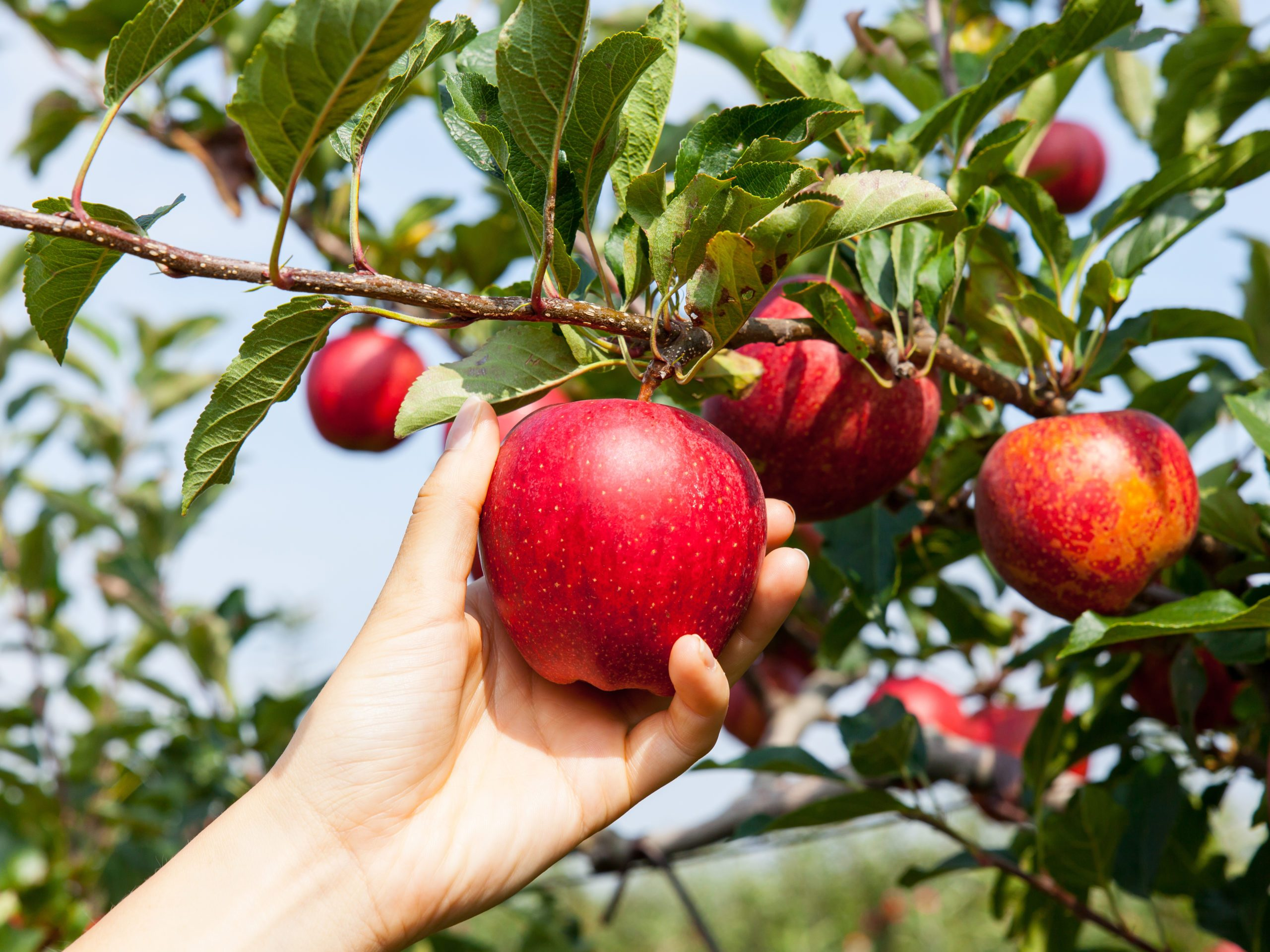Apple benefits - picking apples