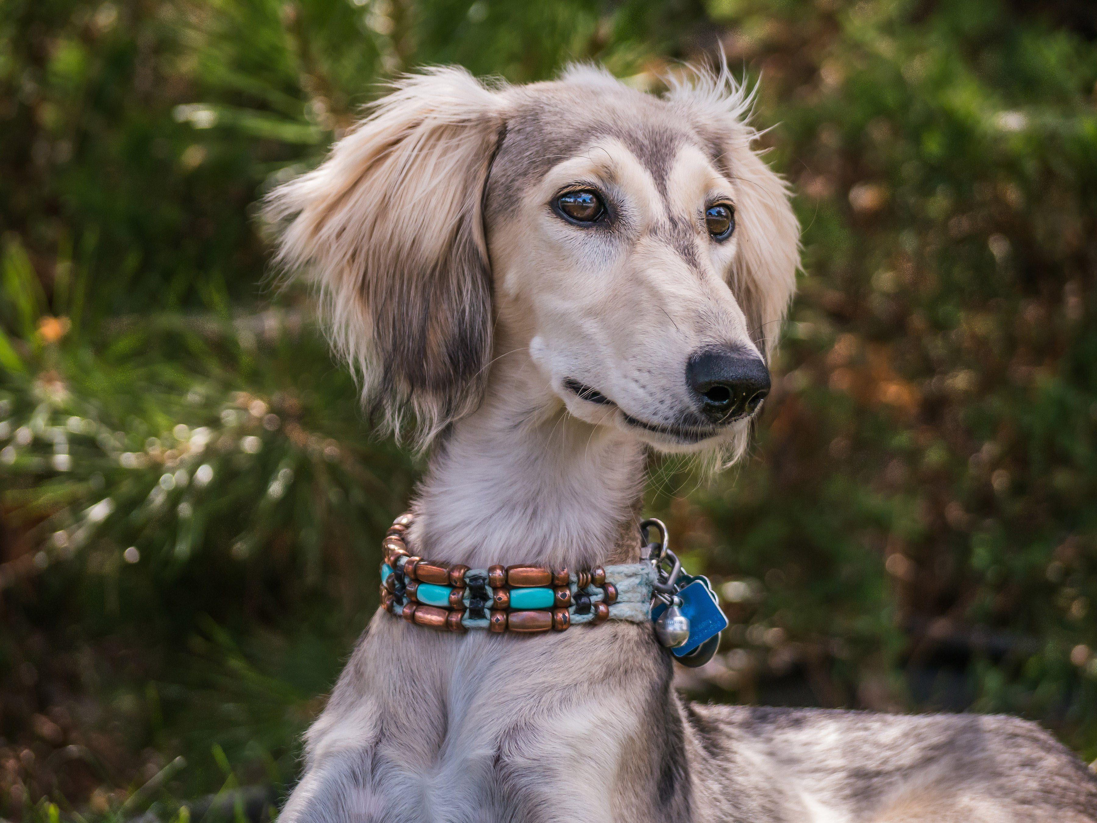 Female Saluki breed dog