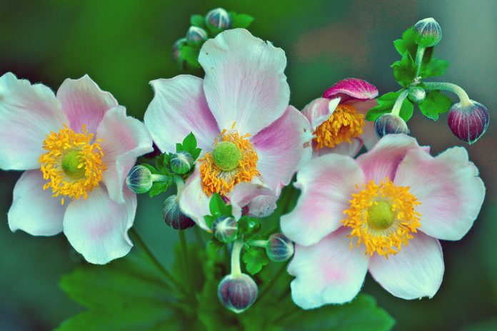 Columbine flowers in bloom