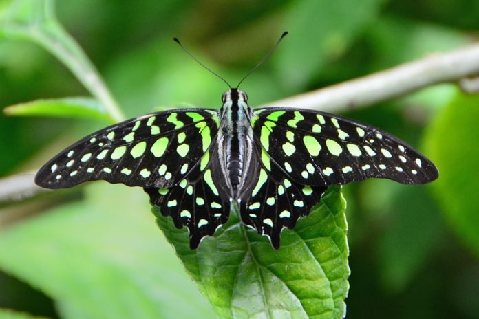 Close-up of green and black butterfly