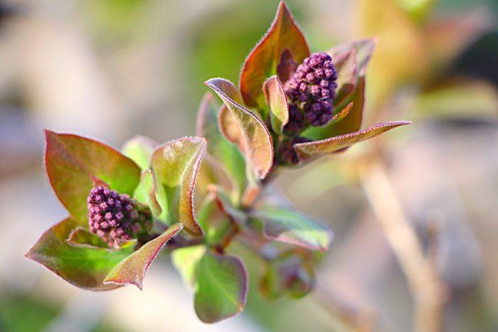 Close-up of lilac bush