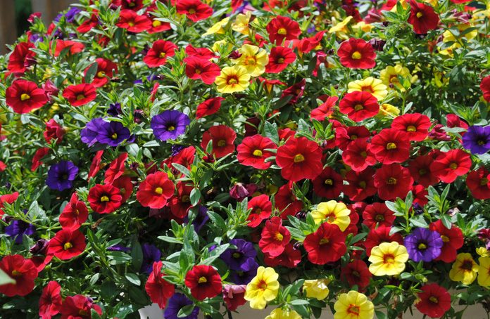 Purple, red and yellow petunias