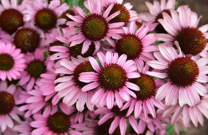 Group of pink daisies
