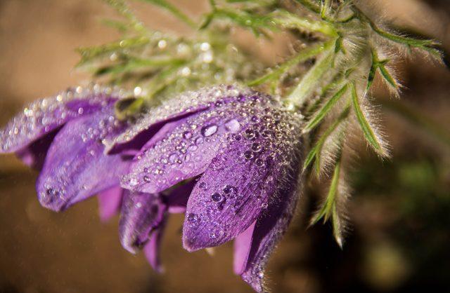 Raindrops on purple spring flowers