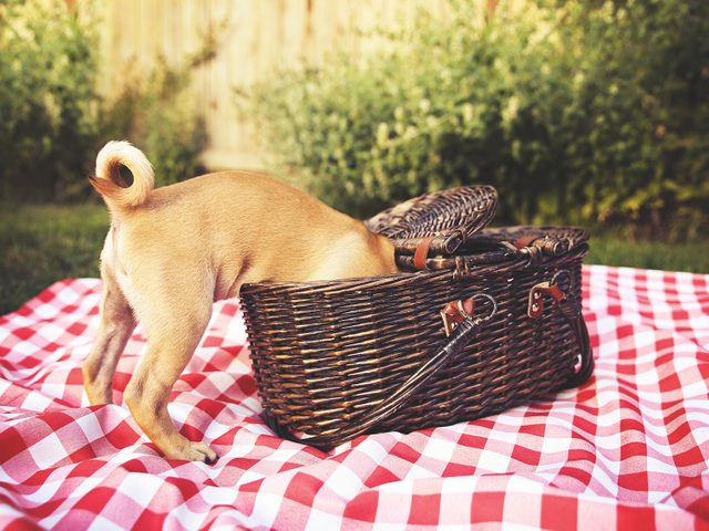 Dog raiding a picnic basket