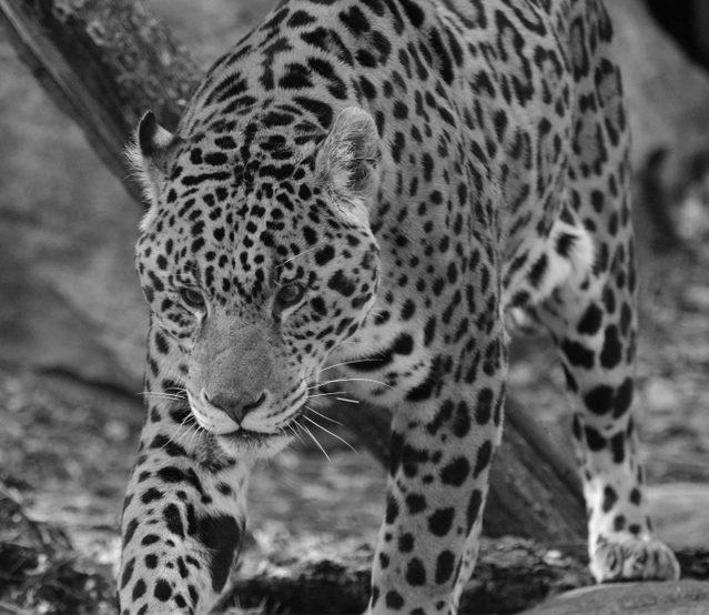 Jaguar at Toronto Zoo