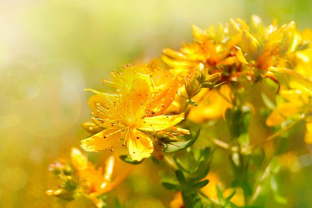 St. John's Wort is one of the many depression treatments available to sufferers