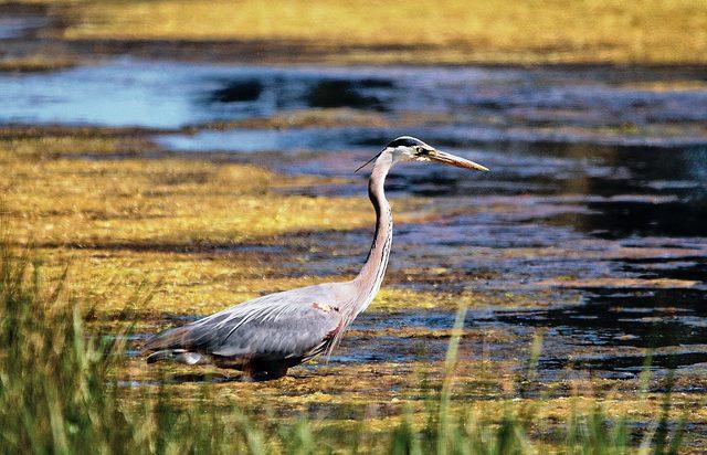Bird watching for blue herons