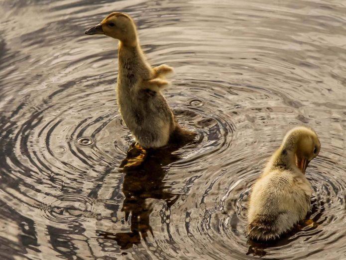 Ducks playing in lake