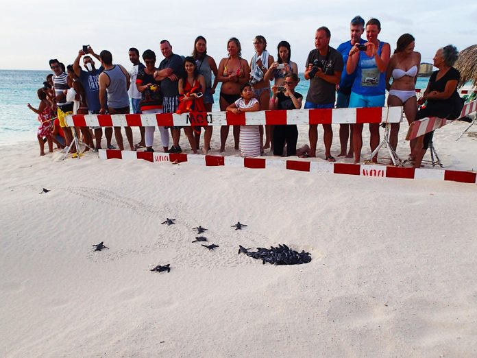 Sea turtles hatching in Aruba