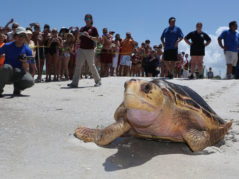 Sea turtle on the beach in Florida