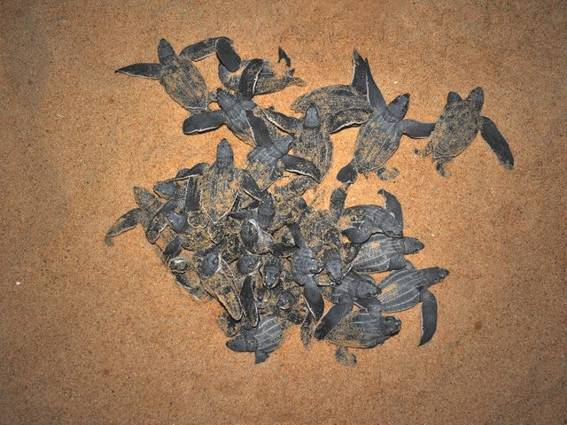 Sea turtles hatching in Puerto Rico