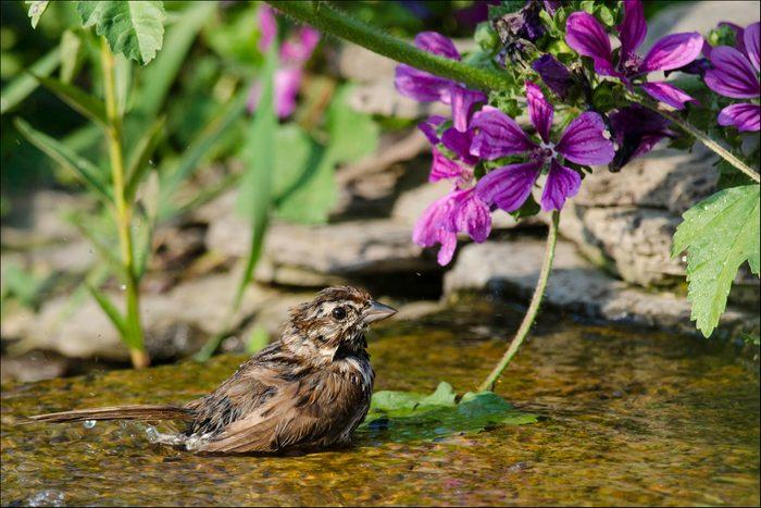 Sparrow bathing in backyard waterfall