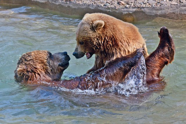 Two bears in the water at Toronto Zoo