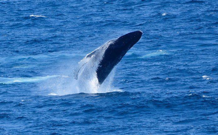 Humpback whale in Cape Breton