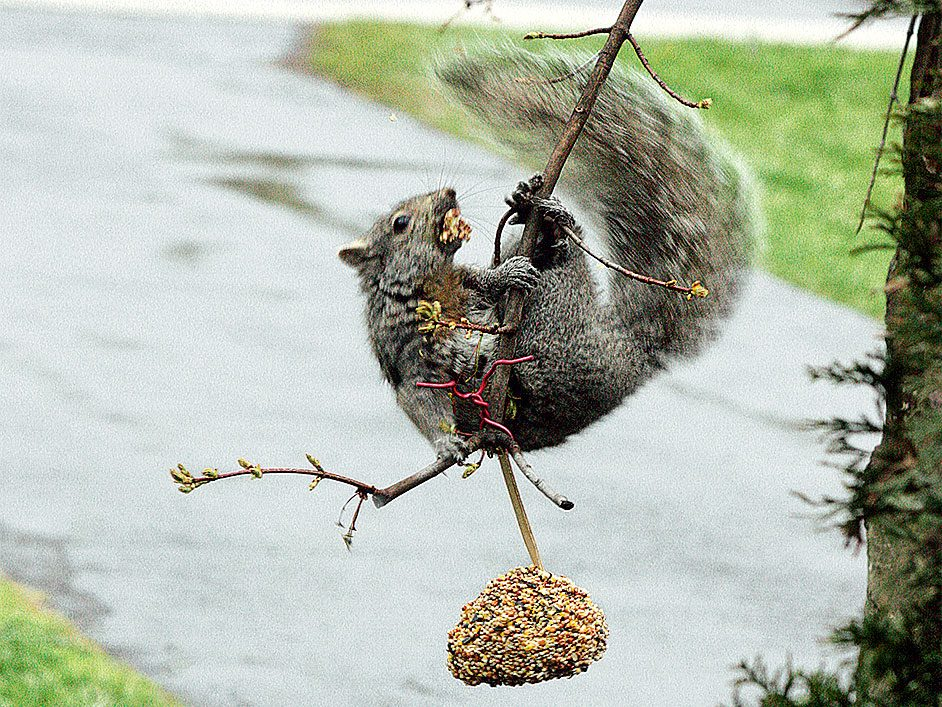 Squirrel dangling from tree