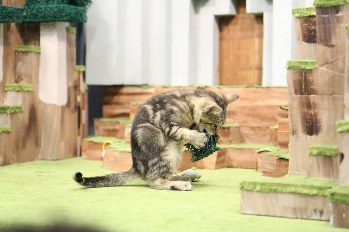 Cat at the Edmonton Cat Festival