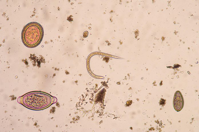 Roundworm known as strongyloides