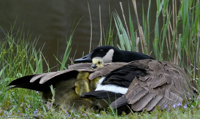 Mother goose with Goslings under wing
