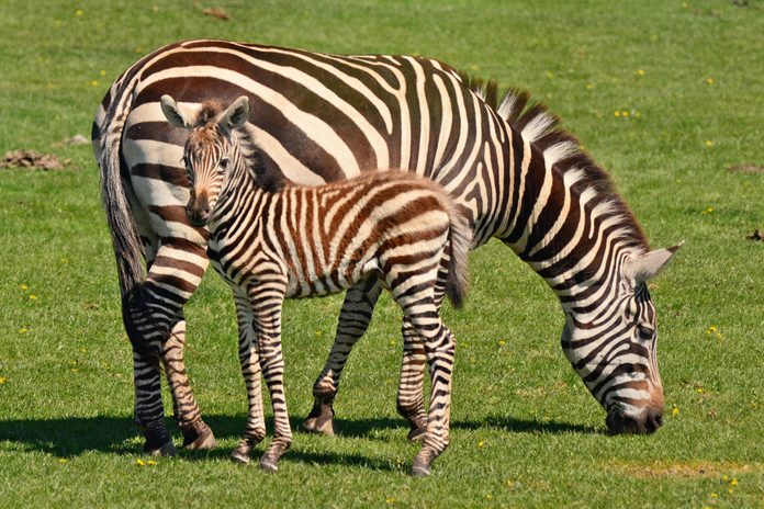 Young zebra with its mother