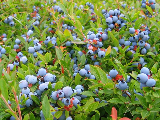 Wild blueberries in a field