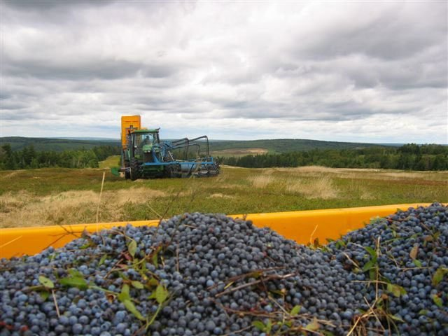 Harvesting wild blueberries